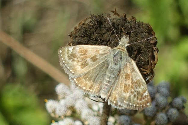 view of a Dingy Skipper with wings open on a dead flower head