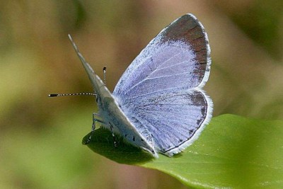 View of a butterfly with partially open wings, showing one wing to be blue with a wide black edging to the forewing.