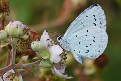 Side view of pale blue butterfly with random small black spots