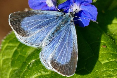 Blue butterfly with the tips of the upperwings surrounded by a broad black band