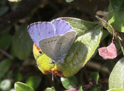 Blue butterfly with wings partially open