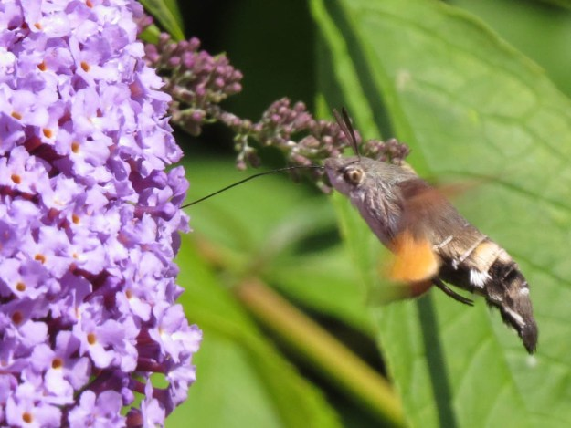 Brown and Black moth with whirring orange wings, aiming its very long proboscis at a buddleia flower