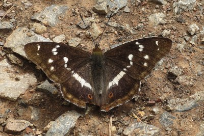 Dark brown butterfly with white markings sitting with its wings open
