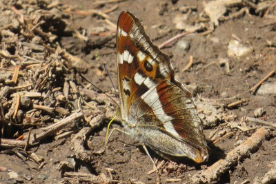 Large butterfly sitting on the ground with its wings closed