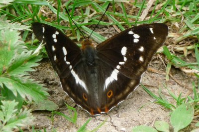 Dark brown butterfly with white markings, with wings open on the ground