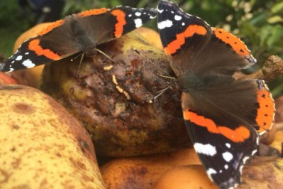 Two black, red and white butterflies feasting on rotting pears