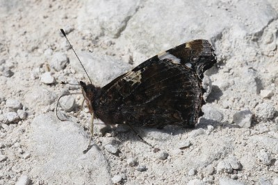 Butterfly with closed wings, looking mainly black.