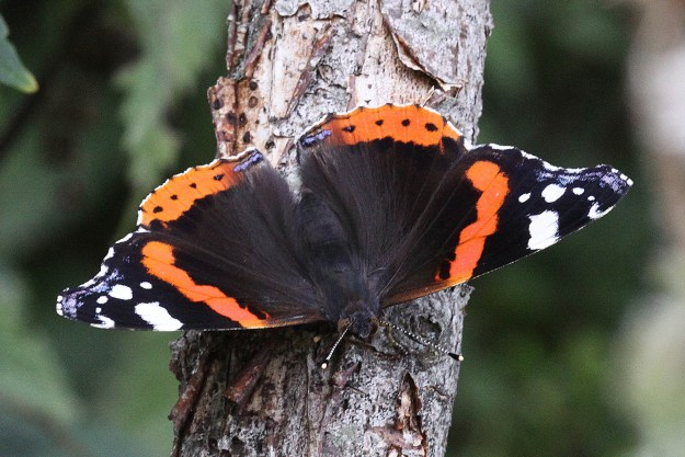 Black butterfly with striking red and white markings, clinging to a narrow tree trunk