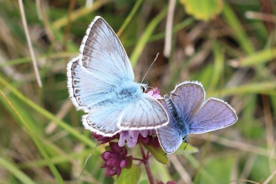 Two blue butterflies with open wings on a flower - one larger but paler than the other