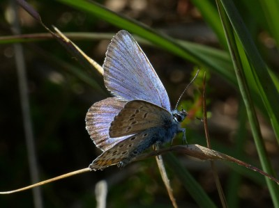 Blue butterfly with balck fringe