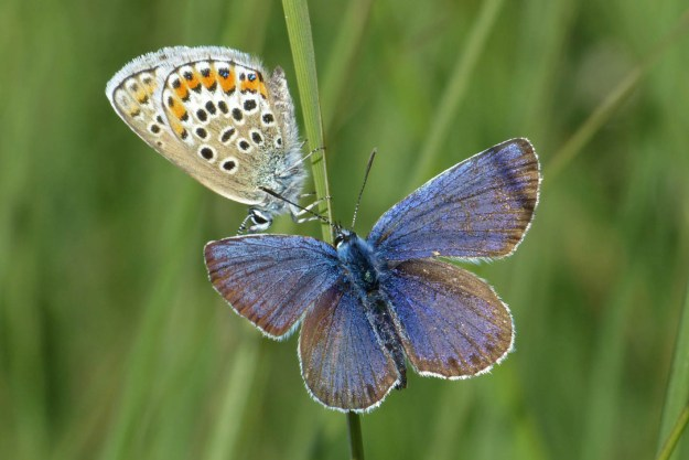 Two butterflies on a grass stalk. Blue one with wings open.