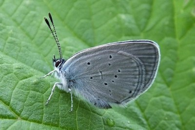 Side view of small butterfly with grey wings with small black dots.