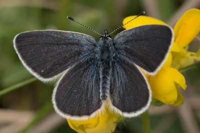 Dark grey butterfly with a dusting of bright blue scales.