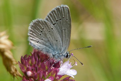 Side-on view of butterfly with pale grey underwings with small black marks and a white fringe.