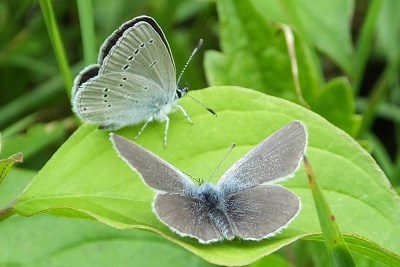 Two very small butterflies on a leaf, one with wings open and one with wings shut; both look greyish in colour