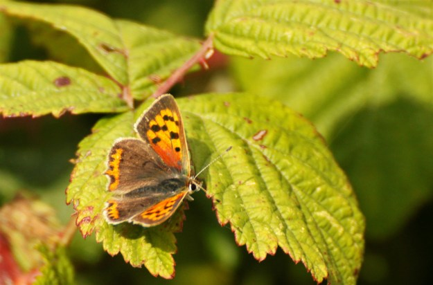 view of a Small Copper resting on Blackberry leaves