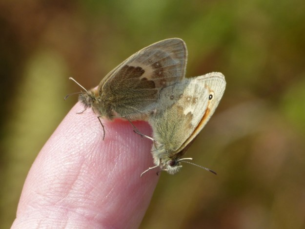 view of a pair of mating Small Heaths on photographers finger