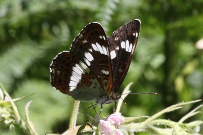 Dark brown butterfly with striking white markings