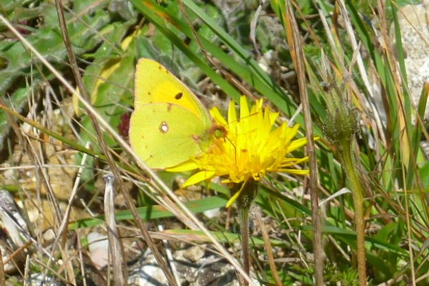 Bright yellow butterfly with green eyes on a dandelion flower