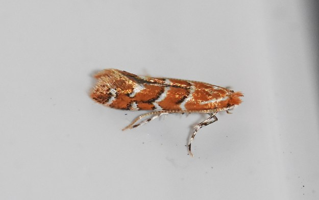 Looking down on a tiny Horse Chestnut Leaf Miner moth  showing pattern