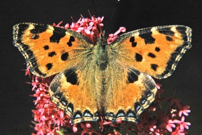 Orange butterfly with black. blue and yellow marks