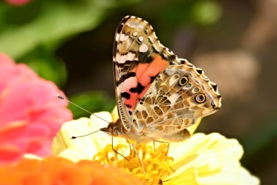 Butterfly nectaring on bright flowers