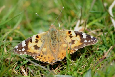 Butterfly with open wings. General colour dull orangey yellow, with black and white marks plus small blue specks