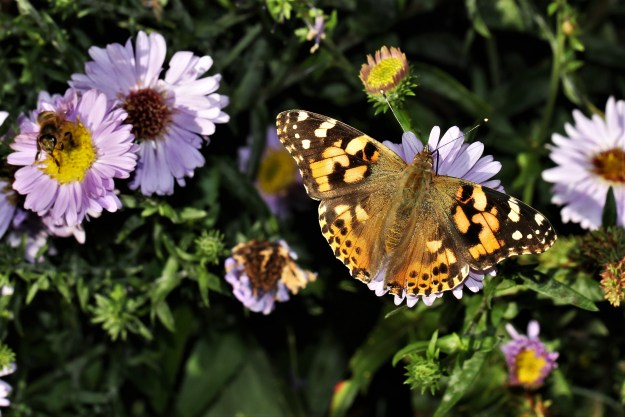 view of a Painted Lady nectaring on Michaelmas Daisies