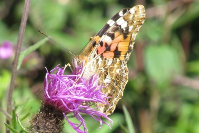 Butterfly coloured in brown, orange, peach, black and white, on a knapweed flower