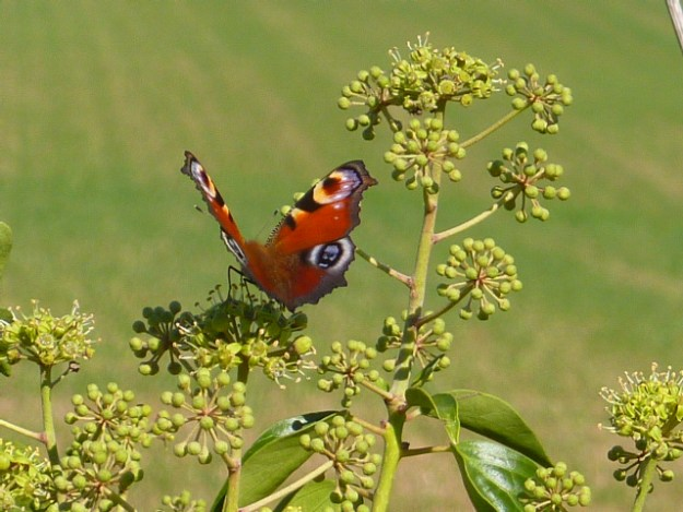 Reddish-brown butterfly with blue markings on ivy flowers