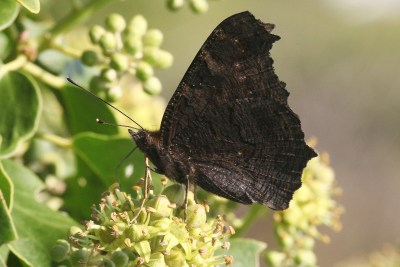 Side view of a very dark butterfly on an ivy flower