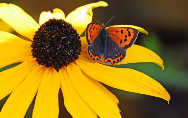 view of a Small copper , aberration sitting on a Black eyed Susan flower