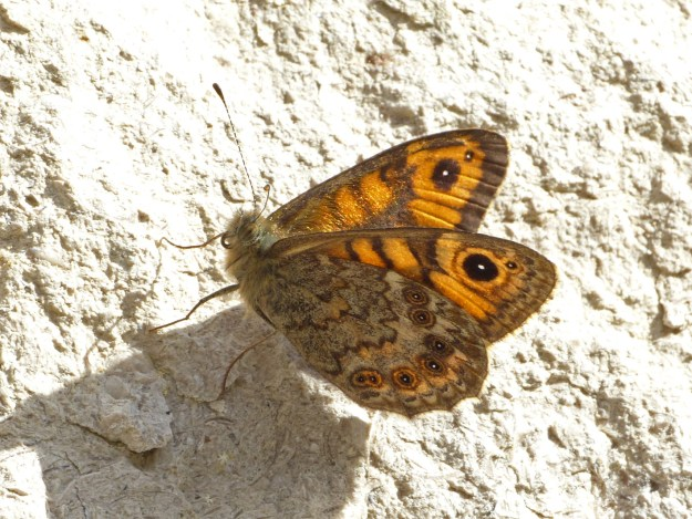view of a Wall Brown resting on a wall with wings half closed