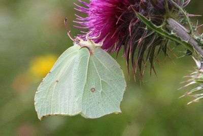 Very pale green butterfly with pointed wings hanging from a purple thistle flower