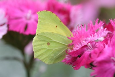 Bright yellow butterfly on bright pink flower
