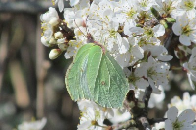 Greenish butterly on bright white blossom