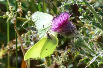 Two butterflies on a thistle flower, one a greenish white and the other bright yellow.