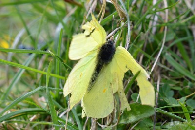 Yellow butterfly with partially open wings, wich are very ragged and missing in some places
