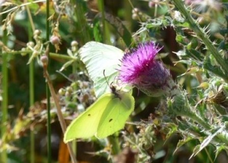 rare view3 of a Male and Female Brimstone nectaring on Knapweed