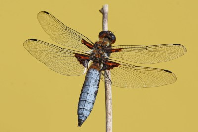 Dragonfly with flattish steely-blue body, clinging ot a reed.