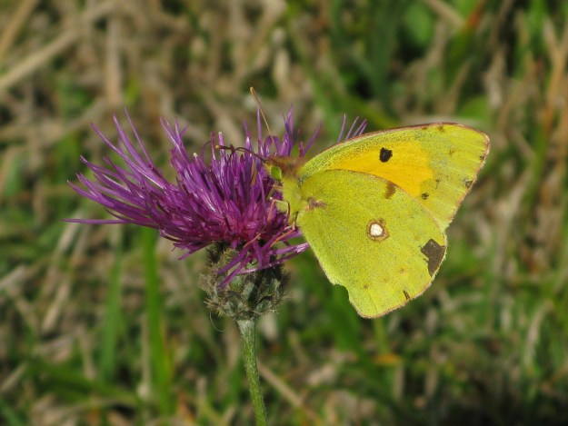 view of a Clouded Yellow nectaring on Knapweed with wings partially closed