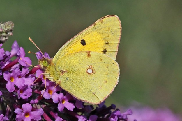 Yellow butterfly with some black marks and one white spot; the black on the top of the upperside is visible through the wing.