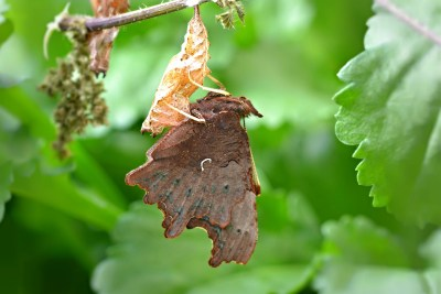 Brown butterfly with ragged, closed, wings, hanging from the bottom of an orange chrysalis case