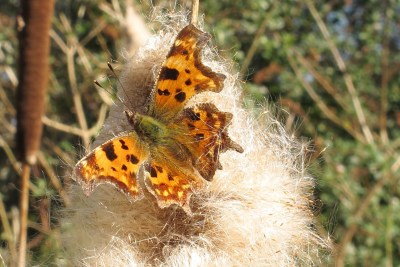 Bright orange butterfly with various markings on an explosion of white seedheads
