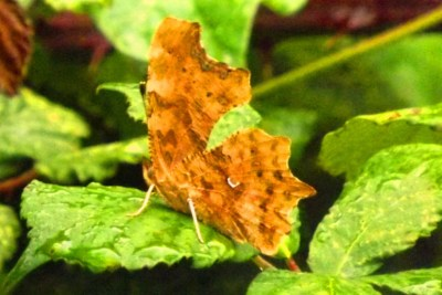 Orange butterfly with wings closed, on a leaf
