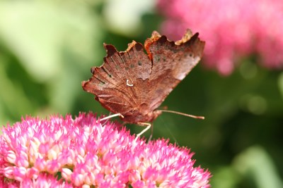 Underside of a browny butterfly with a white tick mark on it wing