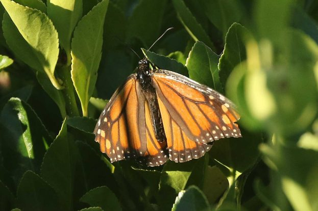 LArge orange butterfly with brown veins and white spots, in a shady area