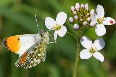 White butterfly with orange tips to forewings on pale lilac flower