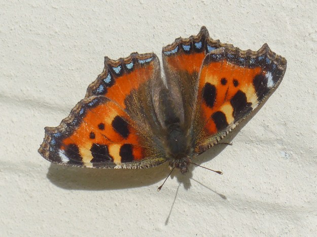 Orange butterfly iwth yellow, black and blue markings, on a white wall