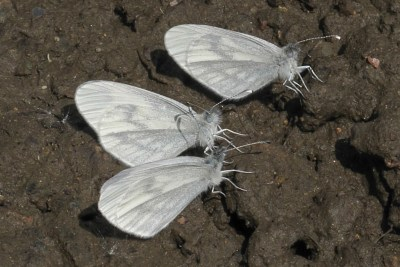 Thre white butterflies with indistinct grey markings on the ground